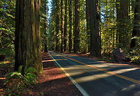 Avenue of the Giants through Redwoods National Park. High Dynamic Range image.