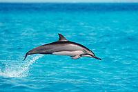 Hawaiian spinner dolphin, or Gray's spinner dolphin, Stenella longirostris longirostris, juvenile, leaping, Midway Atoll, Papahanaumokuakea Marine National Monument, Norhwestern Hawaiian Islands, Hawaii, USA, Pacific Ocean