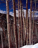 &quot;Aspens on Fryingpan Road&quot;<br />