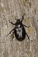 Eremit, Juchtenkäfer, Osmoderma eremita, hermit beetle
