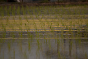 Newly planted rice in a paddy with an algal bloom in the water.