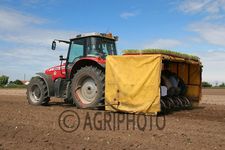 Planting cabbage plants in the Lincolnshire fens