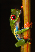 Red-Eyed Tree Frog (agalychnis callidryas) - Costa Rica's most iconic amphibian, this treefrog can be seen on nearly every  tourism advertisement and knick-nack in the country. These frogs lay their eggs on vegetation overhanging small ponds. When the tadpoles hatch, they drop into the water to begin their development. Arenal, Costa Rica.