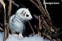 MA28-131z  Short-Tailed Weasel - ermine exploring marsh for prey in winter - Mustela erminea