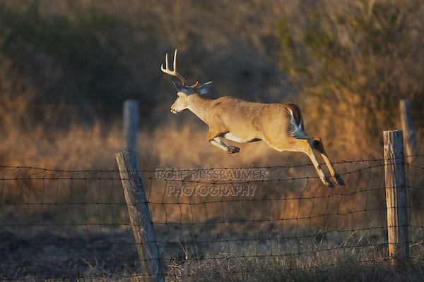 White-tailed Deer (Odocoileus virginianus), buck jumping fence, Sinton, Corpus Christi, Coastal Bend, Texas, USA