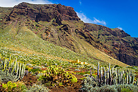 Canary Island spurge, or Hercules club, Euphorbia canariensis, endemic to Canary Islands, Indian fig opuntia, Barbary fig, cactus pear, spineless cactus, or prickly pear, Opuntia ficus-indica, Punta de Teno, Buenavista del Norte, Tenerife, Canary Islands, Spain, Atlantic Ocean