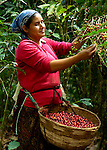 Coffee picker on a coffee farm on the slopes of the Santa Volcano in western El Salvador.