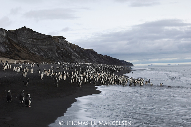 Chinstrap penguin colony at Bailey Head on Deception Island, Antarctic Peninsula.
