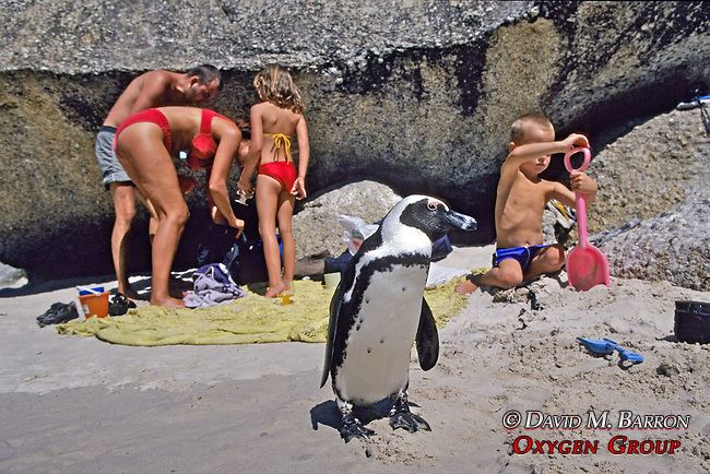 African Penguin & People