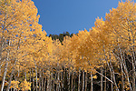 Aspen trees - fall colors