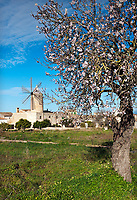 Spanien, Mallorca, Algaida: Windmuehle und bluehender Mandelbaum, der sowohl die neuen Blueten als auch noch die Fruechte vom letzten Jahr traegt. Die meisten Mandelbaeume auf Mallorca werden leider nicht mehr gepflegt, da billigere Konkurrenz aus Kalifornien den Absatz erschwert hat | Spain, Mallorca, Algaida: windmill and blossoming almond tree