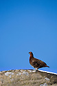 Red Grouse {Lagopus lagopus scoticus} on gritstone boulder against blue sky. December, Peak District National Park, UK.