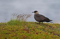Schmarotzer-Raubmöwe, Schmarotzerraubmöwe, dunkele Morphe, Raubmöwe, Stercorarius parasiticus, Parasitic Jaeger, Arctic Skua, Parasitic Skua