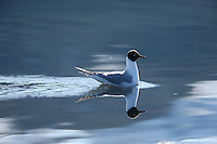 A Bonaparte's Gull (Larus philadelphia) is almost perfectly reflected in the calm water of Heather Bay, in Prince William Sound, Southcentral Alaska on a sunny morning in early May.