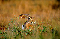 650220001 a wild blacktail jack rabbit lepus californicus feeds on tall grasses in the rio grande valley of south texas