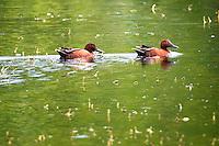 Cinnamon teal swim on a lake at Bowdoin National Wildlife Refuge near Malta, Montana.