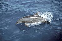 Spinner Dolphin - Stenella longirostris
