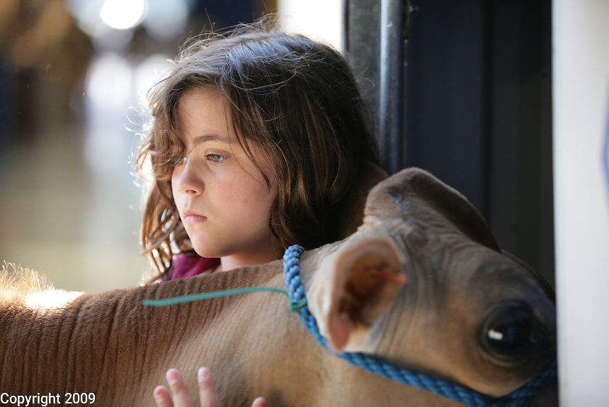 Sarah Kayser, 11, of Lynden, holds a jersey heifer while it is top lined before showing at the NW Washington Fair. She is in Barnyard Kids 4H group. August 18, 2009. PHOTOS BY MERYL SCHENKER ..
