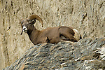 Bighorn Sheep resting on the rocky mountain ledges in Jasper National Park
