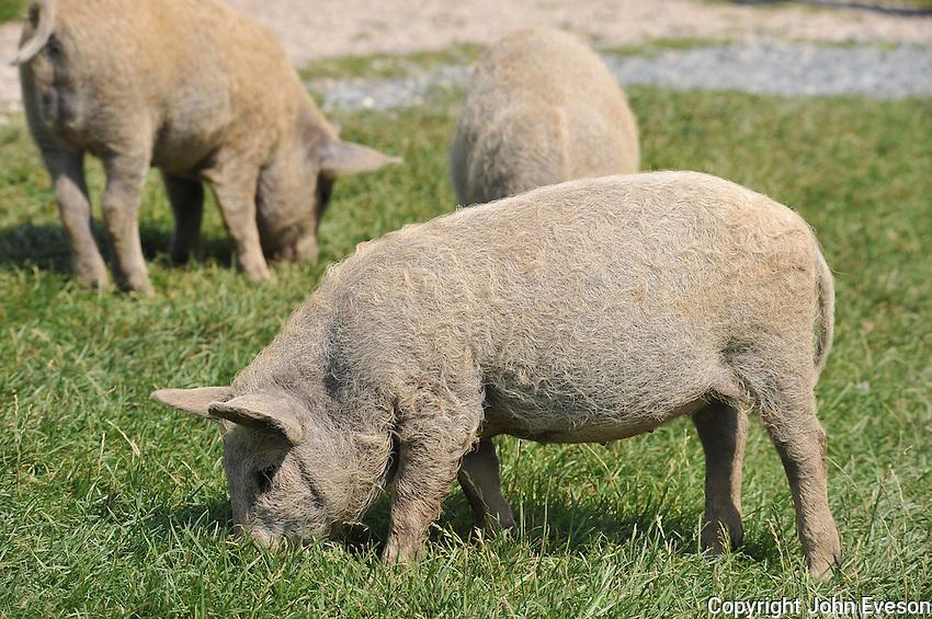 Lincolnshire Curly Coat piglets.  (Mangalitzas)....Copyright..John Eveson, Dinkling Green Farm, Whitewell, Clitheroe, Lancashire. BB7 3BN.01995 61280. 07973 482705.j.r.eveson@btinternet.com.www.johneveson.com