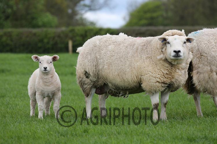 Pedigree Texel Ewes with lambs at foot