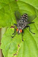 Fleischfliege, Sarcophaga spec., Sarcophaga cf. carnaria, fleshfly, flesh-fly, Sarcophagidae, Aasfliegen, Fleischfliegen, fleshflies