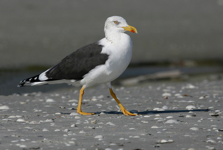 Lesser Black-backed Gull - Larus fuscus - winter adult