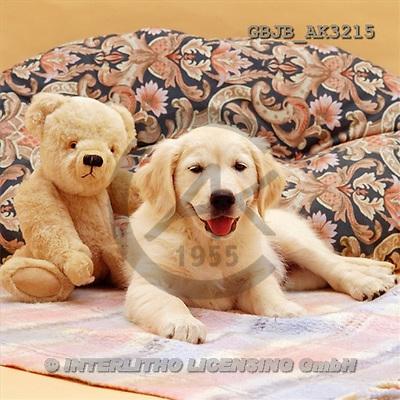 Kim, ANIMALS, dogs, photos(GBJBAK3215,#A#) Hunde, perros