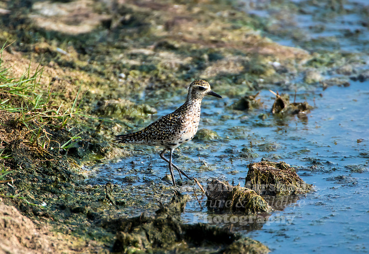 Pacific golden plover (Pluvialis fulva) is a medium-sized plover.