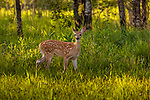 White-tailed fawn stopping to listen in a northern Wisconsin meadow.