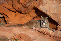 Cougar lying in a protected cove in the red rocks of Utah - CA