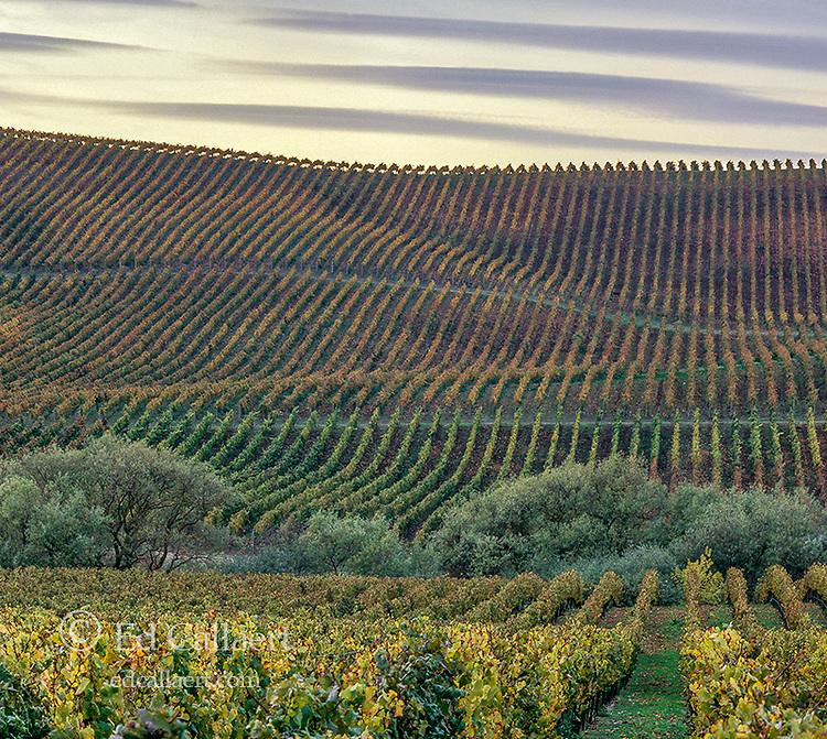 Autumn Vineyards, Carneros Appellation, Napa Valley, California