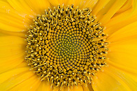 Helianthus Music Box Sunflower