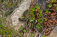 Hochalpen-Widderchen, Hochalpenwidderchen, Alpen-Widderchen, Alpenwidderchen, Raupe, Raupen, Zygaena exulans, mountain burnet, Scotch burnet, caterpillar, La Zygène des sommets