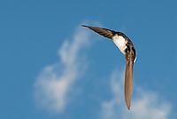 Huiszwaluw (Delichon urbica)