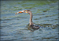 Double-Crested Cormorant surfacing after a dive with a fish in it's beak
