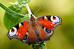 Peacock Butterfly, Inachis io, resting with wings open on garden shrub.United Kingdom....