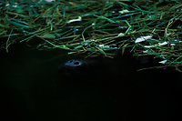 an Amazonian manatee, Trichechus inunguis ( c ), is barely visible as it takes a breath at the surface, INPA/LMA, Amazonas, Brazil