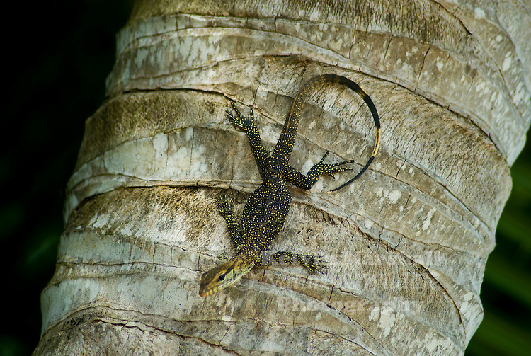 Asian water monitors, Varanus salvator, and Nile monitors are the most common large monitors available as pets.   Asian water monitors are one of the  largest species of lizard in the world and can grow to an adult size of 3 meters and weigh well over 125 lbs.