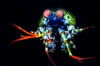 Mantis shrimp, Odontodactylus scyllarus, Bitung, Lembeh Strait, Sulawesi, Celebes Sea, Indo-Pacific, Indonesia