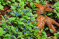 Geranium with Oak leaf, Seattle, Washington