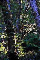 Close-up of backlit Alder trees in Sol Duc Forest, Olympic National Park