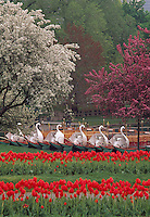 Swan boats and red tulips, public Garden, Boston, MA