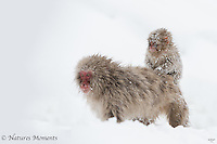 Japanese Macaque - Monkey Back Ride