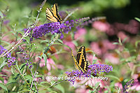 03017-01211 Giant Swallowtail (Papilio cresphontes) and Eastern Tiger Swallowtail (Papilio glaucus) butterflies on Butterfly Bush (Buddlei davidii),  Marion Co., IL