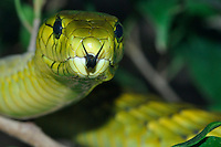 Green mamba, Dendroaspis viridis, normally diurnal, found in rainforests of central and western Africa.