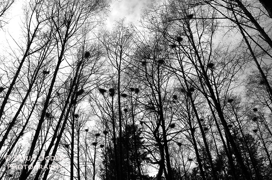 Bird nests silhouetted in trees, near Olympia, Washington