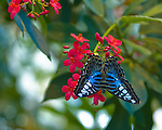 A Blue Clipper butterfly - dorsal view - with color and markings showing against a bright red flower and a multi-shaded green background.