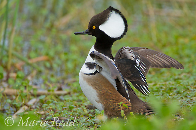 Hooded Merganser (Lophodytes cucullatus), male, flapping its wings, Viera Wetlands, FLorida, USA