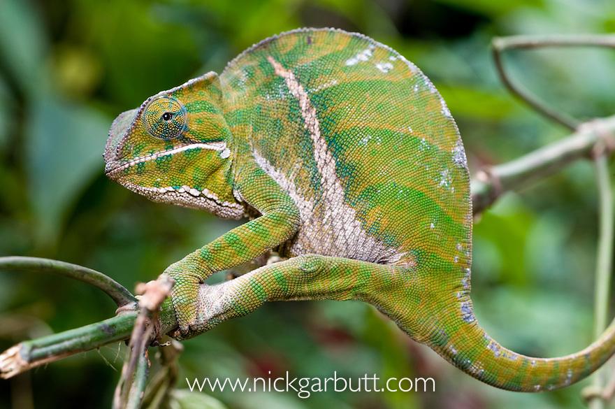 Female Two-banded or 'Belted' Chameleon (Furcifer balteatus) in rainforest understorey. Ranomafana National Park, south east Madagascar.